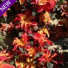 KIMIZA - 50+ AMARANTHUS GANGETICUS CARNIVAL FLOWER SEEDS ANNUAL MOST COLORFUL