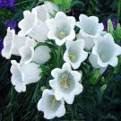 KIMIZA - 50+ PURE WHITE HEIRLOOM CAMPANULA CANTERBURY BELLS PERENNIAL FLOWER SEEDS / GIFT