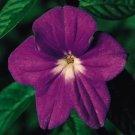 KIMIZA - 50+ BROWALLIA MAROON MARINE BELLS ANNUAL FLOWER SEEDS