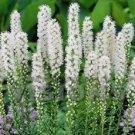 KIMIZA - 50+ LIATRIS SPICTATA FLORISTAN WHITE / PERENNIAL FLOWER SEEDS