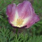 KIMIZA - 40+ PURPLE GLEAM ESCHSCHOLZIA POPPY FLOWER SEEDS MIX / RESEEDING ANNUAL PAPAVER