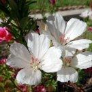 KIMIZA - 50+ WHITE CLARKIA FLOWER SEEDS / RE-SEEDING ANNUAL / GODETIA