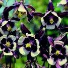 25+ TEQUILA VULGARIS WILLIAM GUINNESS BI-COLOR AQUILEGIA COLUMBINE FLOWER SEEDS / PERENNIAL