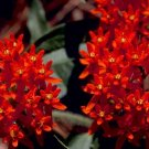 KIMIZA - 30+ DEEP RED BUTTERFLY WEED FLOWER SEEDS / ASCLEPIAS / PERENNIAL / GREAT GIFT