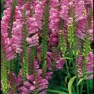 KIMIZA - 40+ ROSE COLORED OBEDIENT PLANT FALSE DRAGON FLOWER SEEDS / PERENNIAL