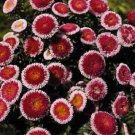 KIMIZA - 20+ GIANT RED MOON ASTER FLOWER SEEDS / RESEEDING ANNUAL