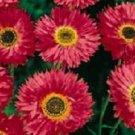 KIMIZA - 40+ GOLIATH TETRA RED DOUBLE DAISY ANNUAL FLOWER SEEDS / ACROCLINIUM ROSEUM