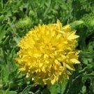 KIMIZA - 30+ GAILLARDIA YELLOW PLUME FLOWER SEEDS / RARELY OFFERED PERENNIAL