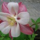 KIMIZA - 25+ AQUILEGIA CAERULEA MRS SCOTT ELLIOTT COLUMBINE FLOWER SEEDS / PERENNIAL