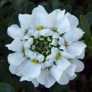 KIMIZA - 50+ IBERIS BRILLIANT WHITE EVERGREEN CANDYTUFT FLOWER SEEDS / DEER RESISTANT
