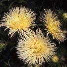 KIMIZA - 30+ YELLOW ASTER FLOWER SEEDS / TALL / NEEDLE UNICORN / SELF-SEEDING ANNUAL