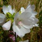 KIMIZA - 30+ WHITE PERFECTION W / PINK ANTERS MALVA FLOWER SEEDS / PERENNIAL