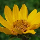 KIMIZA - 50+ HELIOPSIS FALSE SUNFLOWER SEEDS / PERENNIAL / GROWS POOR SOIL EVEN HARD CLAY