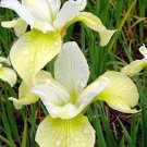 KIMIZA - 20+ YELLOW AND WHITE IRIS SIBERICA FLOWER SEEDS / DROUGHT AND FROST HARDY