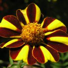 KIMIZA - 30+ HEIRLOOM HARLEQUIN MARIGOLD FLOWER SEEDS