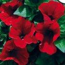 KIMIZA - 30+ PETUNIA STORM RED FLOWER SEEDS MIX / ANNUAL