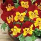 KIMIZA - NEW! 35+ PANSY PANOLA SUNBURST FLOWER SEEDS / PERENNIAL