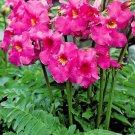 KIMIZA - 20+ INCARVILLEA HARDY GLOXINIA FLOWER SEEDS / ROSY/ PINK PERENNIAL