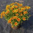 KIMIZA - 50+ COREOPSIS DAYBREAK RISING SUN BI-COLOR RE-SEEDING LONG LASTING ANNUAL FLOWER SEEDS