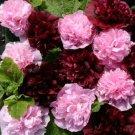 KIMIZA - 30+ ALCEA VERY BERRY DOUBLE HOLLYHOCK FLOWER SEEDS MIX / PERENNIAL