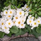 KIMIZA - NEW! 15+ PRIMULA WHITE PRIMROSE FLOWER SEEDS PERENNIAL