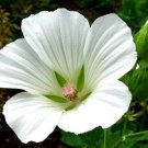 KIMIZA - 20+ WHITE MALOPE TRIFIDA FLOWER SEEDS / MALLOW / ANNUAL EARLY SPRING BLOOM