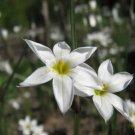 KIMIZA - 75+ RARE WHITE BLUE-EYED GRASS SISYRINCHIUM PERENNIAL FLOWER SEEDS GROUND COVER