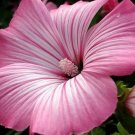 KIMIZA - 20+ LAVATERA SILVER CUP FLOWER SEEDS / PERENNIAL EARLY SPRING BLOOM