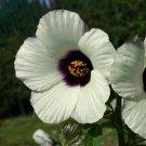 KIMIZA - 15+ AMETHYST HIBISCUS FLOWER SEEDS / PERENNIAL