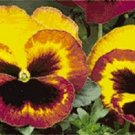 KIMIZA - NEW! 35+ DELTA FIRE BI-COLOR PANSY WITH FACE FLOWER SEEDS / LONG LASTING ANNUAL