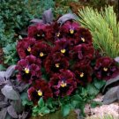 KIMIZA - NEW! 30+ RUFFLED PANSY FRIZZLE SIZZLE BURGANDY FLOWER SEEDS / PERENNIAL