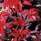 KIMIZA - 50+ AMARANTHUS MOLTEN FIRE FLOWER SEEDS ANNUAL MOST COLORFUL