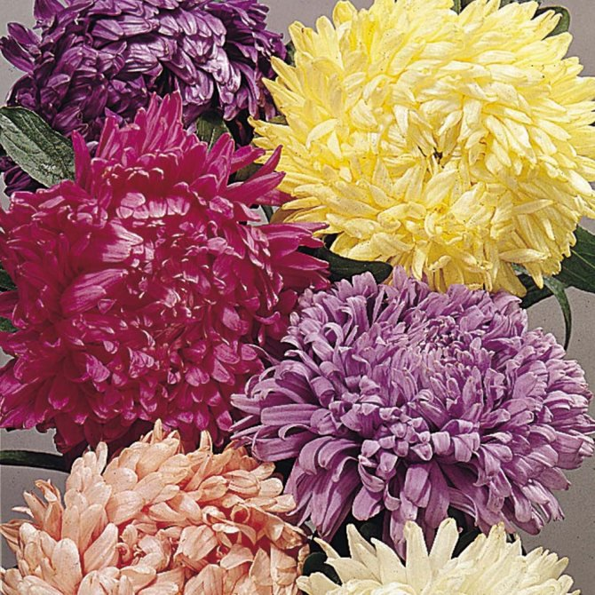 KIMIZA - 40+ ASTER CHINENSIS CUT FLOWER ASSORTMENT FLOWER SEED MIX / ANNUAL