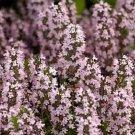 KIMIZA - 75+ THYMUS VULGARIS THYME FLOWER SEEDS / HERB SEEDS / GREAT GIFT