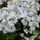 KIMIZA - 50+ PURE WHITE ACHILLEA / YARROW FLOWER SEEDS / PERENNIAL / DEER RESISTANT