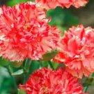 KIMIZA - 30+ CARNATION CHABAUD ORANGE SHERBETT PERENNIAL FLOWER SEEDS /GIFT
