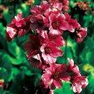 KIMIZA - 15+ RED BERGENIA GROUND COVER REDSTART FLOWER SEEDS / PERENNIAL