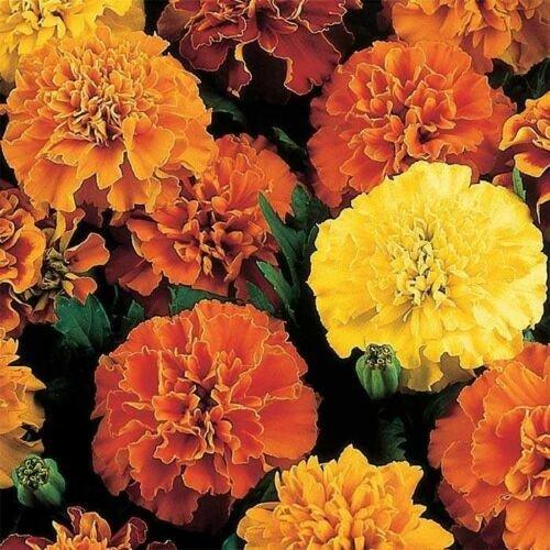 KIMIZA - 35+ MARIGOLD FRENCH DOUBLE JANIE MIX ANNUAL FLOWER SEEDS