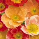KIMIZA - 35+ CHAMPAGNE BUBBLES POPPY / PAPAVER NUDICAULE FLOWER SEEDS MIX / PERENNIAL
