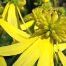 KIMIZA - 50+ YELLOW IRONWEED / WINGSTEM / ACTINOMERIS FLOWER SEEDS / SHADE PERENNIAL