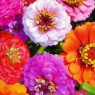 KIMIZA - 75+ ZINNIA ELEGANS MIXED COLORS FLOWER SEED MIX / LONG LASTING ANNUAL