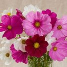 KIMIZA - 35+ COSMOS VERSALLES MIX FLOWER SEEDS / LONG LASTING ANNUAL/DROUGHT TOLERANT