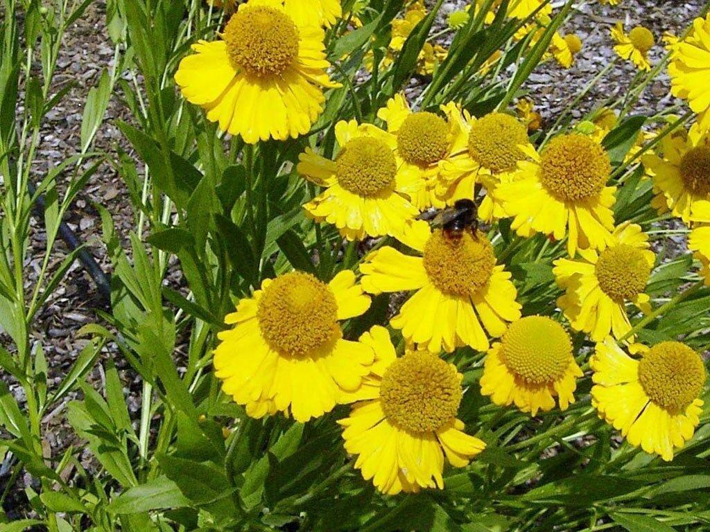 KIMIZA - 50+ HELENIUM HOOPESI GOLDEN PERENNIAL FLOWER SEEDS