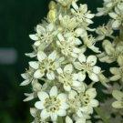 "KIMIZA - 50+ MELANTHIUM VIRGINICUM ""BUNCHFLOWER"" LILY FLOWER SEEDS / PERENNIAL"