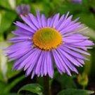 KIMIZA - 25+ ASTER GOLIATH ALPINUS FLOWER SEEDS / PERENNIAL