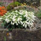 KIMIZA - 25+ PENSTEMON HIRSUTUS SNOWBELLS FLOWER SEEDS / HARDY PERENNIAL
