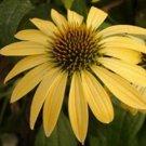 KIMIZA - 40+ YELLOW ECHINACEA/CONEFLOWER FLOWER SEEDS / PERENNIAL