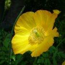 KIMIZA - 30+ BRIGHT YELLOW POPPY MECONOPSIS FLOWER SEEDS / PERENNIAL