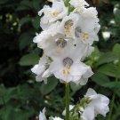 KIMIZA - 70+ POLEMONIUM, PEARL WHITE JACOB'S LADDER FLOWER SEEDS / PERENNIAL