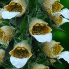 KIMIZA - 50+ BRONZE/WHITE FOXGLOVE DIGITALIS FLOWER SEEDS / PERENNIAL
